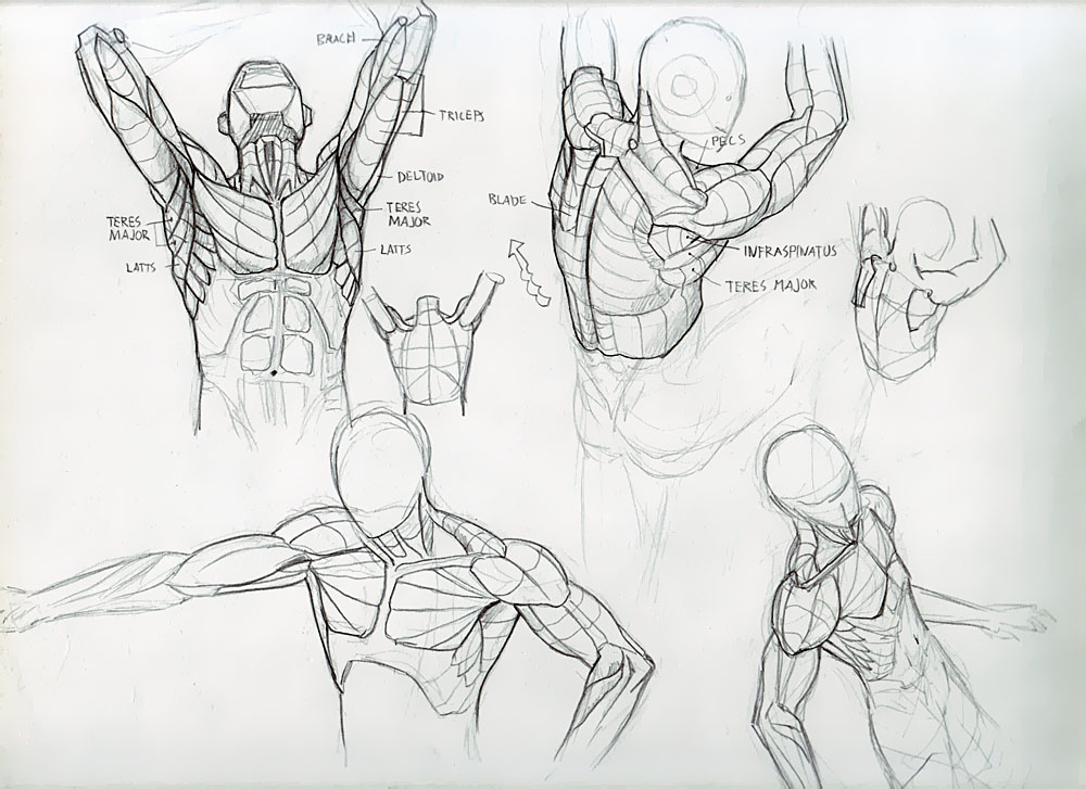 Forearm Muscles Done Deiv Calviz Illustrations Concept Art
