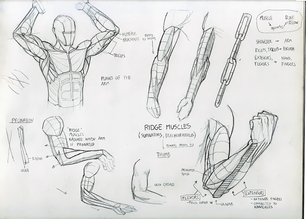 Forearm Muscles Done! - Deiv Calviz - Illustrations, Concept Art ...