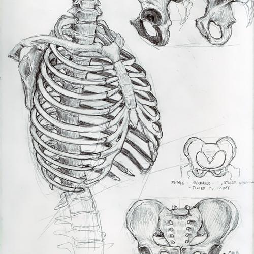Anatomy Study 008